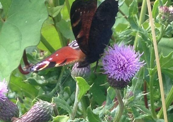 image of butterfly on thistle during 2014 herb walk