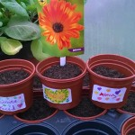 planted calendula seeds in pots