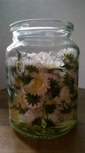 daisies infusing in oil