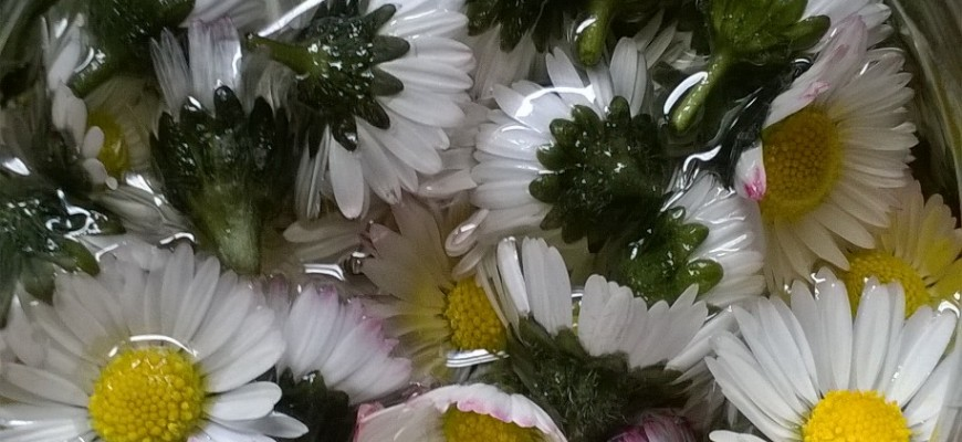 daisy infused oil